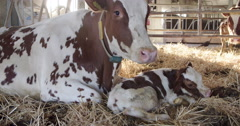 Newborn calf with mother cow at the cowshed in the straw, 4K Stock Footage
