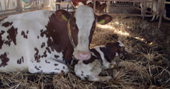 Newborn calf with mother cow at the cowshed, 4K Stock Footage