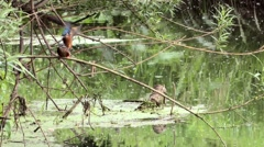 Kingfishers mating in slow motion. Stock Footage