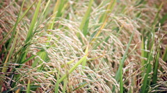 Rice farm field in the wind background, width camera view shot in HD Stock Footage