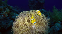 Orange Clown fish swimmig in Sea Anemone at night. Stock Footage