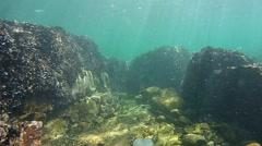 Rocks in shallow waters overgrown with mussels. - stock footage