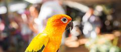 Colorful yellow parrot Sun Conure, Aratinga solstitialis - stock photo