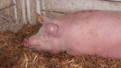Pigs at 83rd Traditional Agricultural fair in Novi Sad, Serbia, 4k Stock Footage