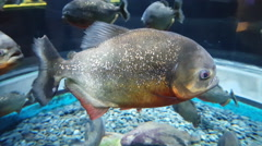 Pirahna fish closeup. Fish sideview. - stock footage