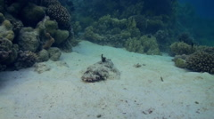 Fish crocodile on sandy bottom of a tropical reef. Stock Footage