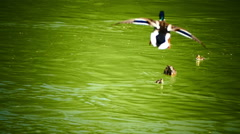 Mandarin duck flying down into water in Spring Summer Stock Footage