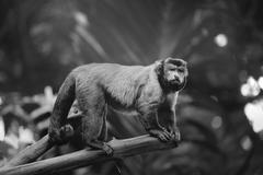 Brown capuchin monkey sitting among the trees - stock photo