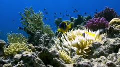 Orange Clown fish swimmig in Sea Anemone on reef. Stock Footage