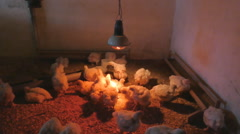 Chickens broilers. Funny timelapse of chickens life Stock Footage