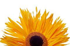 yellow daisy isolated - stock photo