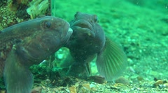 Marine fish goby studying its reflection in the mirror. Stock Footage
