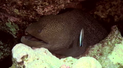 Cleaner wrasse fish cleaning moray eel on reef. Stock Footage