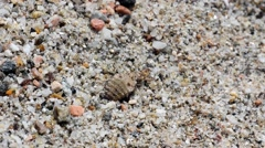 Ant lion larva buries itself in the sand Stock Footage