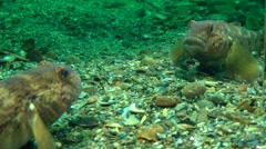 Goby attacks its reflection in the mirror. Stock Footage
