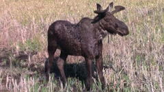 Moose in Algonquin Park Stock Footage