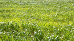 Young wheat field on strong wind Stock Footage