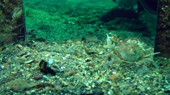 Swimming crab goes away from the mirror. Stock Footage