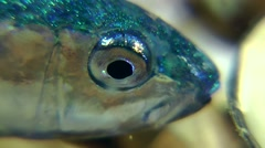 Red mullet at the stage of transition. Stock Footage