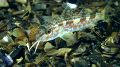 Young goatfish during the transition stage. Stock Footage