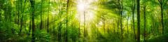 Forest panorama with warm sunrays - stock photo