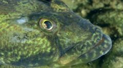 Knout goby (Mesogobius batrachocephalus). Stock Footage