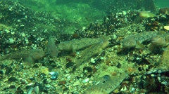 A large number of Round goby (Neogobius melanostomus). Stock Footage
