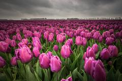 Dark clouds are gathering over a field with Netherland tulips. Stock Photos