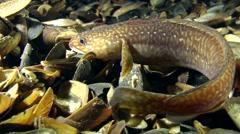 Fish Mediterranean rockling (Gaidropsarus mediterraneus). Stock Footage
