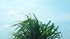 Top of a Pandan Tree Fluttering in a Gentle Breeze Stock Footage