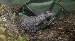 Pimpled toad hiding at the moss Stock Footage