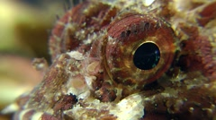 Eyes of Black scorpionfish (Scorpaena porcus). Stock Footage