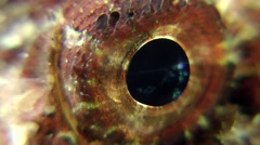 Eye of Black scorpionfish (Scorpaena porcus). Stock Footage
