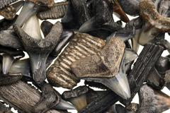 Fossilized shark teeth isolated on white Stock Photos