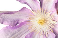 clematis blossom isolated on white background - stock photo