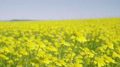 Beautiful Dandelion Meadow - stock footage