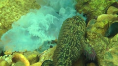 The confrontation between two marine fishes Rusty blenny. Stock Footage