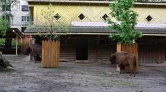 Europian bisons resting Stock Footage