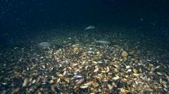 Horse mackerel (Trachurus trachurus). Stock Footage