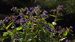 Bumblebees Pollinate Flowers Lungwort Stock Footage