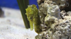 Common seahorse swimming Stock Footage