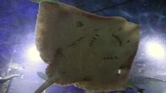Manta ray swims Stock Footage