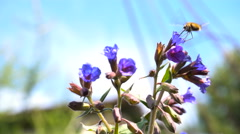 Insects Drink Nectar From Flowers Lungwort Stock Footage