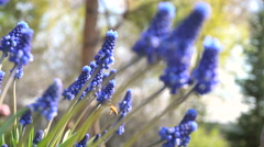 Bees Pollinating Flowers Muscari. Sunny Day in the Garden. Stock Footage