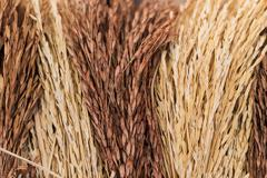 Dried paddy rice tree for house interior Stock Photos