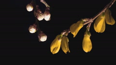 Forsythia blooming flowers on a black background - stock footage