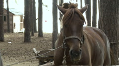 Cute Brown Horse on a Leash in the Paddock. Horse Farm in the Forest Stock Footage