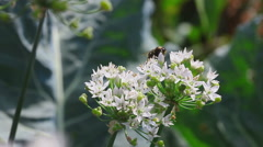 Bumblebee at onion flower - stock footage