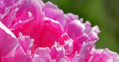 Pink Peony (Paeonia) Flower Close Up - stock footage