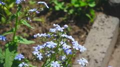 Bee flying near blue myosotis flower Stock Footage